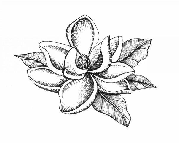 Magnolia Flower Line Drawing : Botanical illustrations by meghan witzke at coroflot