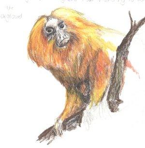 Golden lion tamarin drawing