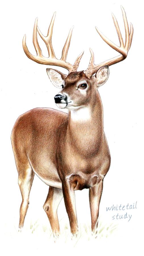 Wildlife Art by Ken Ol...