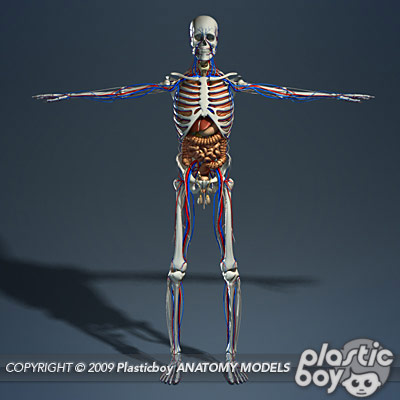 Anatomy 3d Models By Guy Van Der Walt At Coroflot
