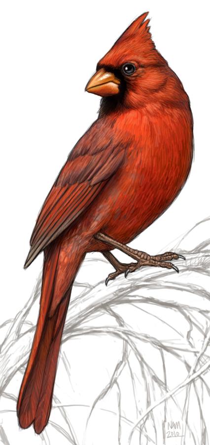 FREE 15+ Beautiful Bird Paintings in PSD | Vector EPS  |Cardinal Bird Drawings