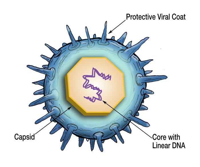 Chickenpox virus 3d model