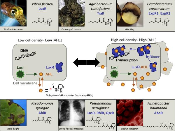 description of agrobacterium tumefaciens