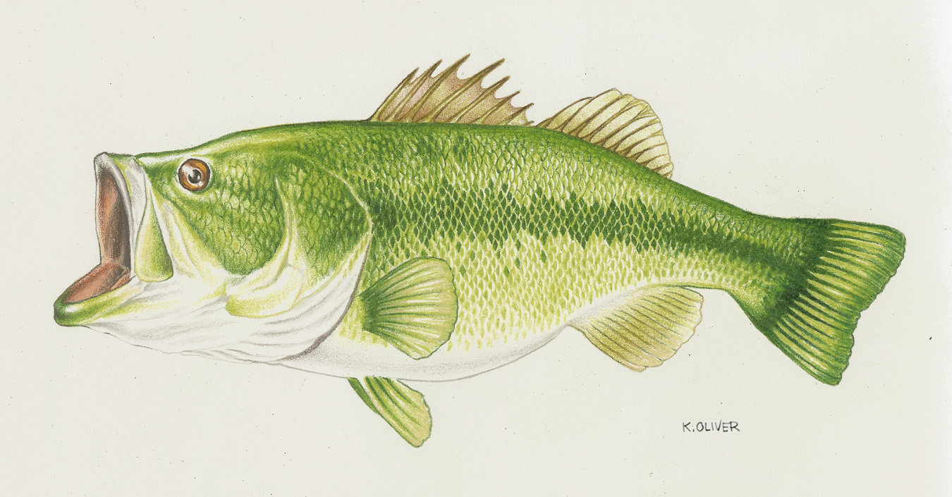 largemouth bass drawing color wallpapers gallery