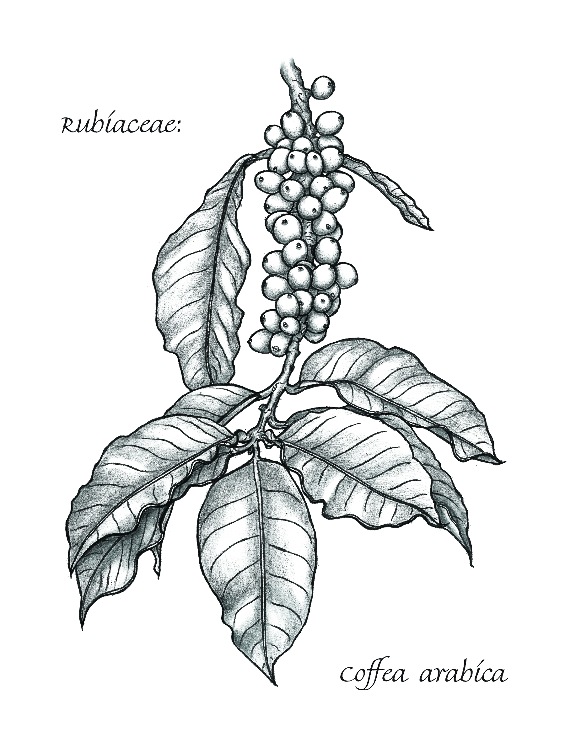 Coffee Bean Plant Drawing an Arrabica Coffee Plant
