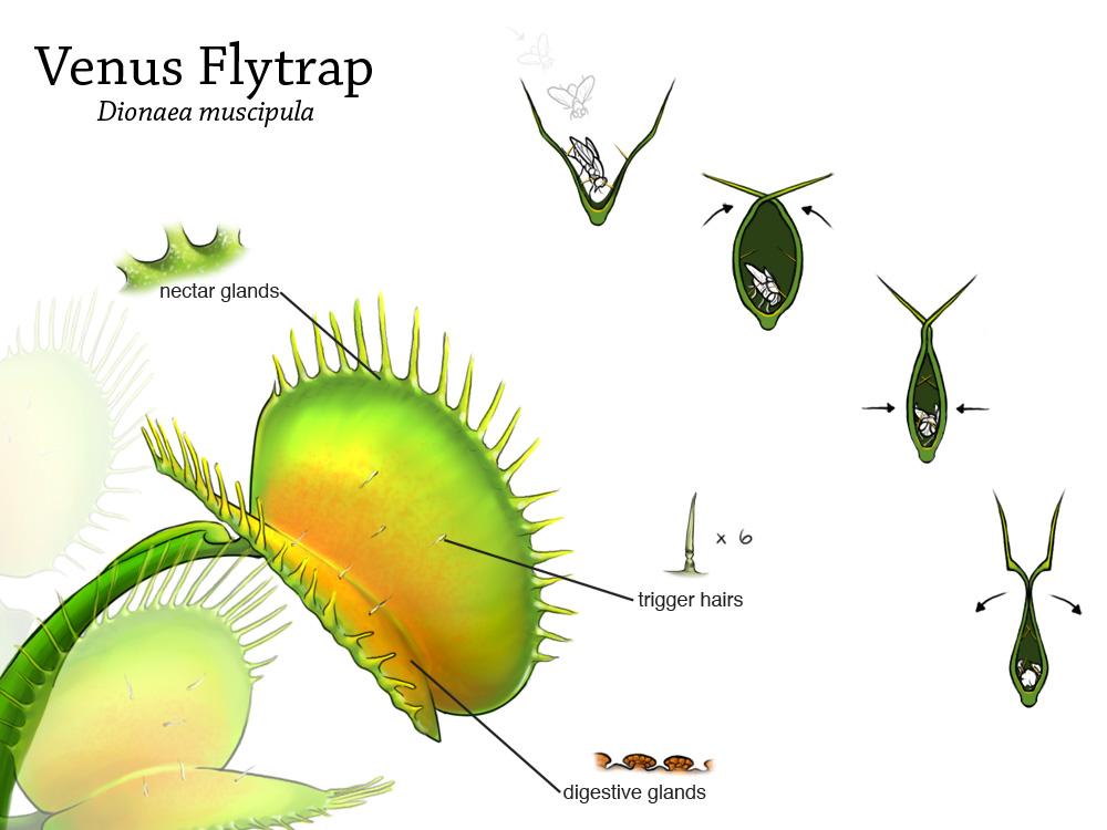 Venus Flytrap Diagram Images