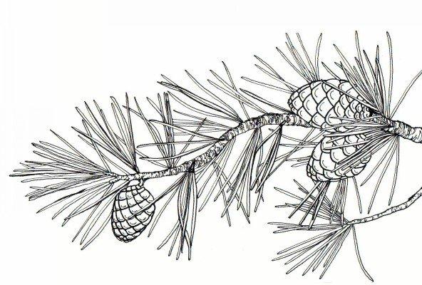botanical illustrations by meghan witzke at coroflotcom