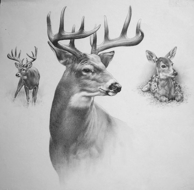 This is a picture of Old Fashioned White Tailed Deer Drawing