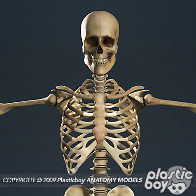 Anatomy 3D Models by Guy van der Walt at Coroflot com
