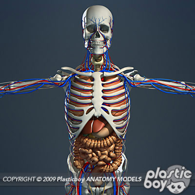 Anatomy 3D Models by Guy van der Walt at Coroflot.com